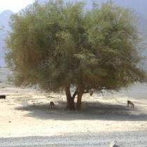SDN2016_Kashab Oman (25)